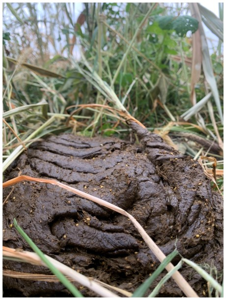 Livestock grazing in cover crop fields allows the producer to reduce input costs: here manure is distributed by livestock and valuable nutrients are added to the soil by the grazing animals.